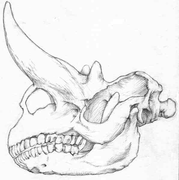 Drawing, skull, Museum of Natural History